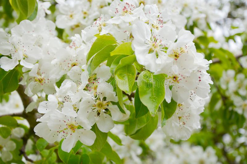 Pear blossoms in spring on white background.  royalty free stock photography