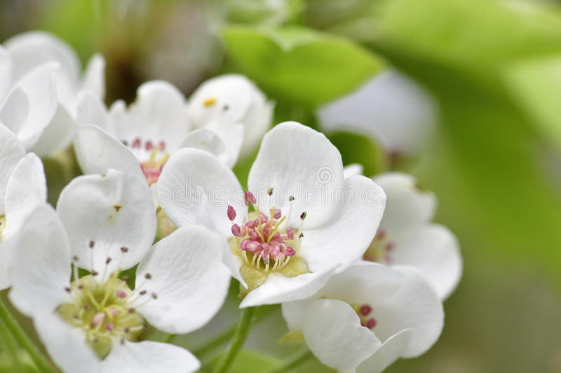 Pear blossoms. On a tree stock images