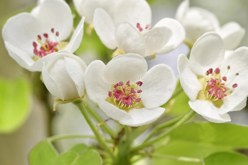 Pear blossoms. On a tree royalty free stock photography