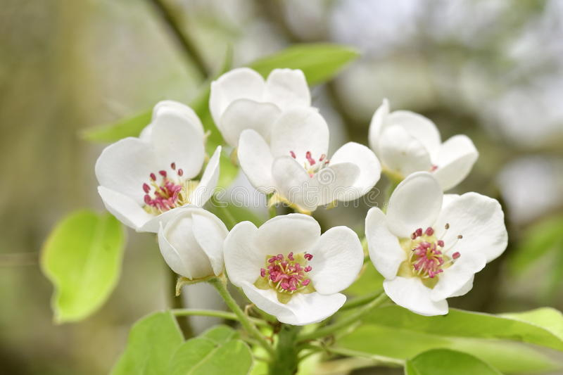 Pear blossoms. On a tree royalty free stock image