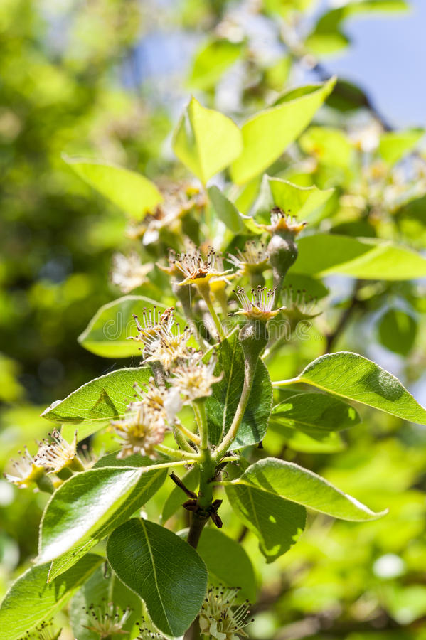 Pear blossoms. Pear tree showing beginning of pear fruit after blossoms have been pollinated and have dropped stock image