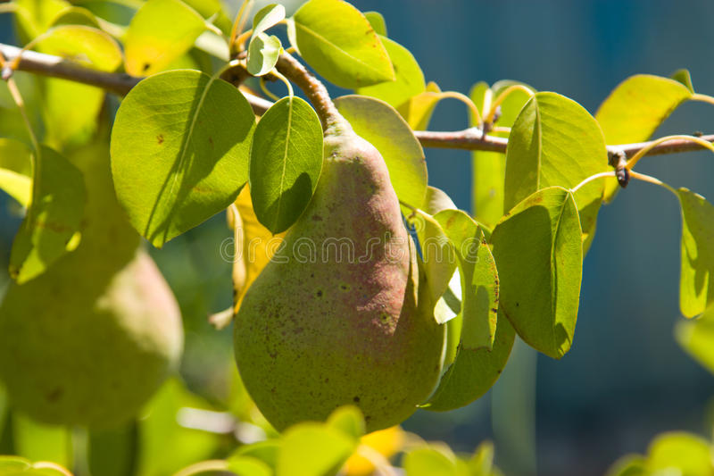 Pear on a branch royalty free stock photography