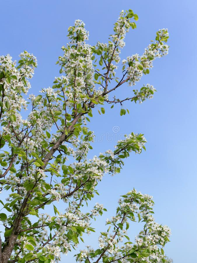 Pear branch, with young green leaves and white flowers against a blue cloudless sky. Spring bloom. stock images