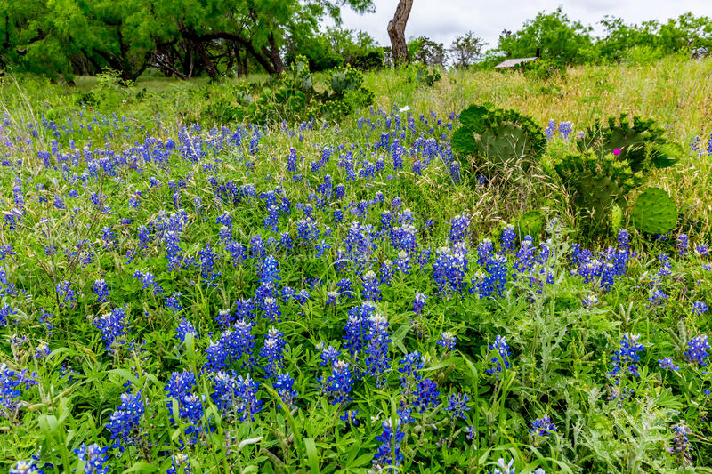 Pear Cactus in the Middle of Texas Bluebonnet Wildflowers stock photos