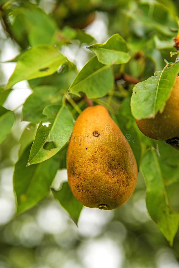 Download Pear stock image. Image of grow, branch, autumnal, botany - 33860841
