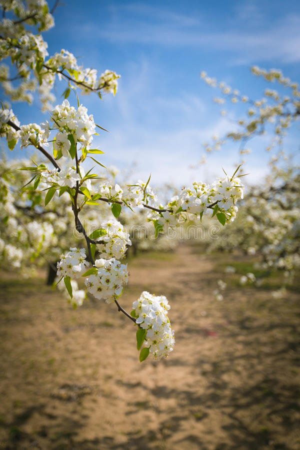 Pear flower. As if thousands of pear trees suddenly turn out in full blossom overnight in the spring breeze royalty free stock image
