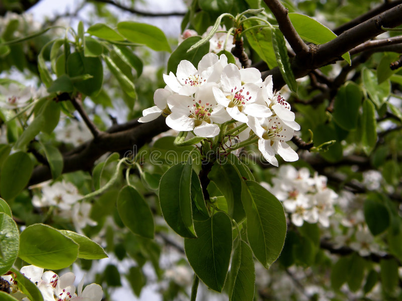 Pear flowers royalty free stock image