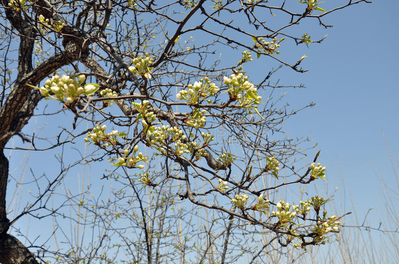 PEAR FLOWERS IN EARLY PUBERTY stock photography