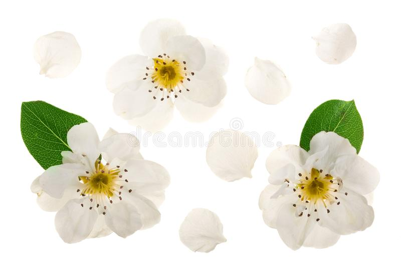 Pear flowers isolated on white background. Top view. Flat lay. Set or collection royalty free stock photos