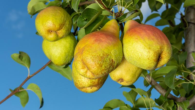 Pear fruit. Close up of a tree with a crop against a blue sky and green garden. Industrial Gardening royalty free stock image