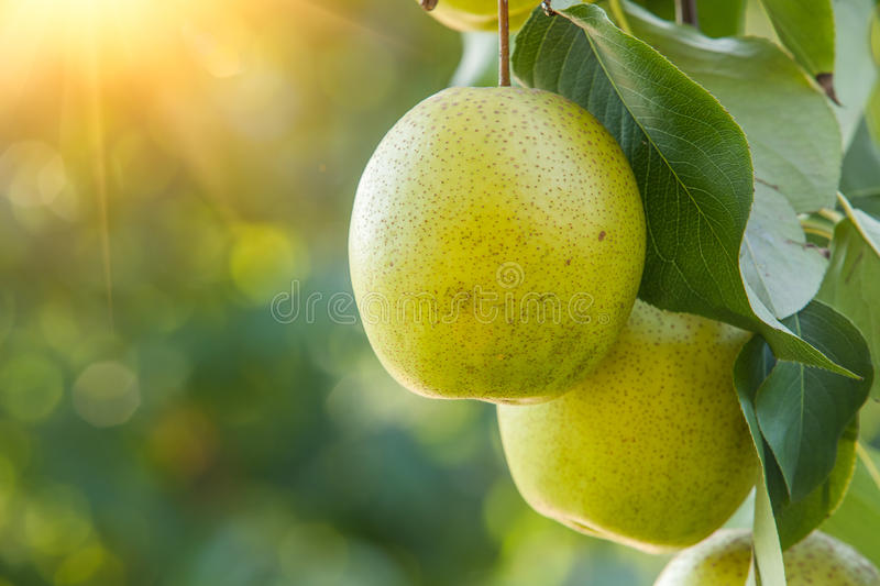 Pear fruit stock photos