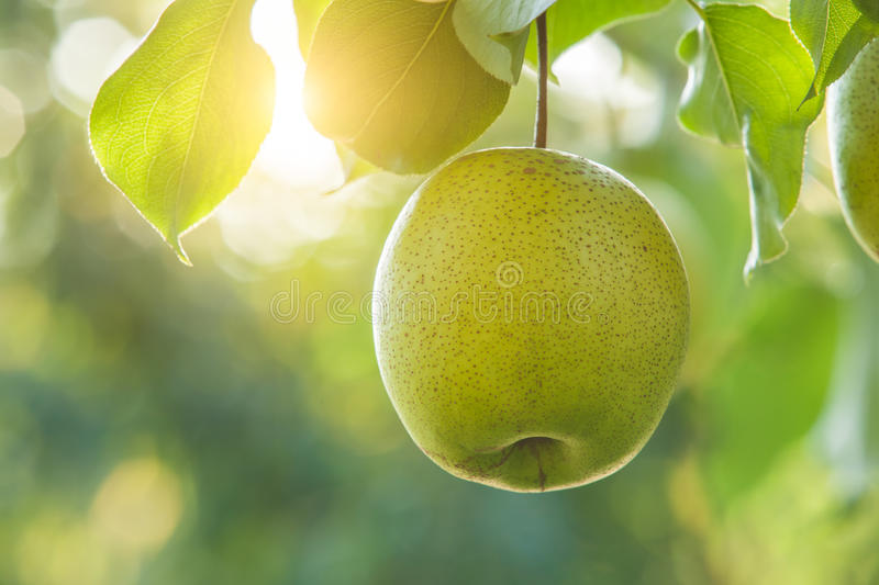 Pear fruit royalty free stock images