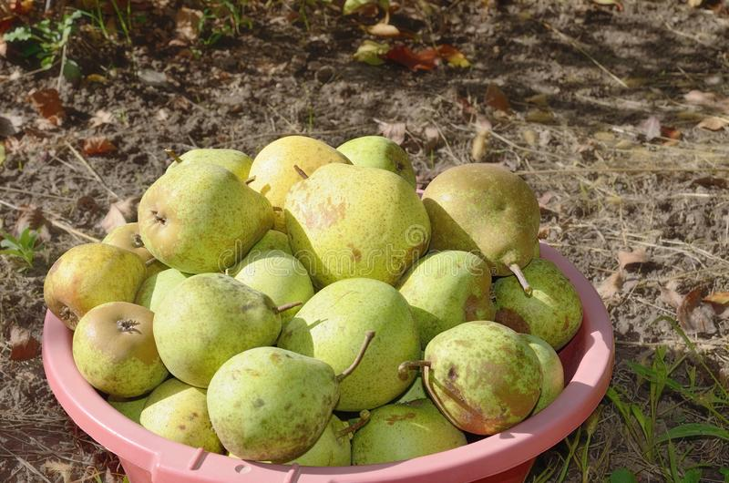 Pear fruits in bowl at soil in autumn. A lot yellow green pear fruits in large plastic bowl at a soft background of brown soil in sunny autumn royalty free stock photo