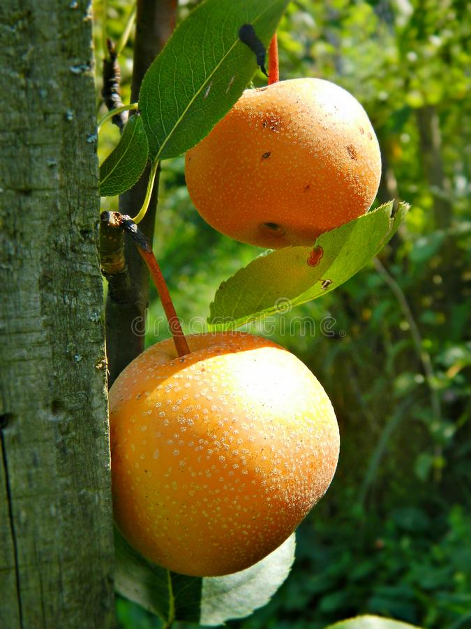 Pear fruits on a small tree. Fruits of ocher round pear on a small tree in the garden. Stock photo close up royalty free stock photos