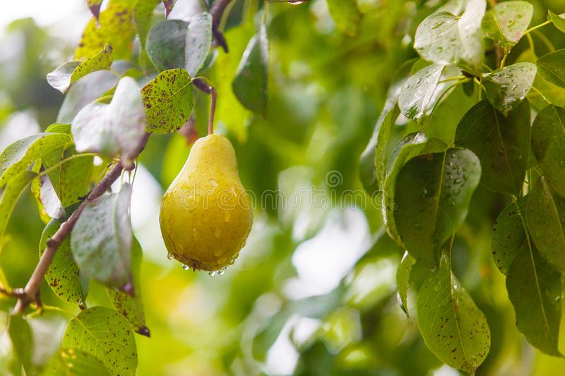Pear hangs on tree branch, close-up. Healthy life concept. Harvesting in countryside royalty free stock photo