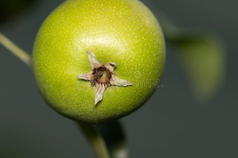 Pear i en tree royaltyfri bild
