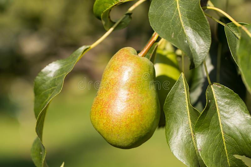 Pear With Leaves In Sunny Garden Summer. Fruit. Ripe And Sweet Pear With Leaves Grow In Sunny Garden Outdoor Summer stock image