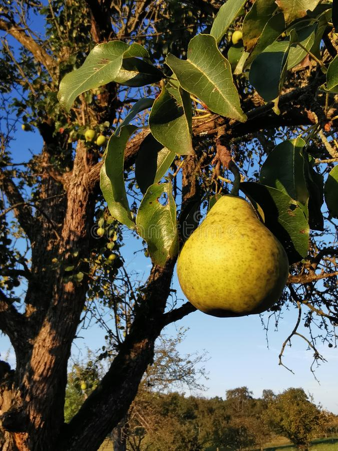 Pear at an old tree royalty free stock photo