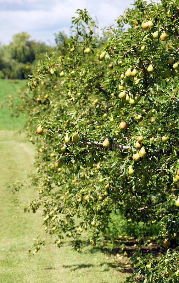 Download Pear Orchard stock image. Image of green, delicious, freshness - 32820423