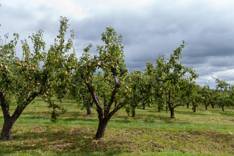Pear orchard in Worcestershire stock images