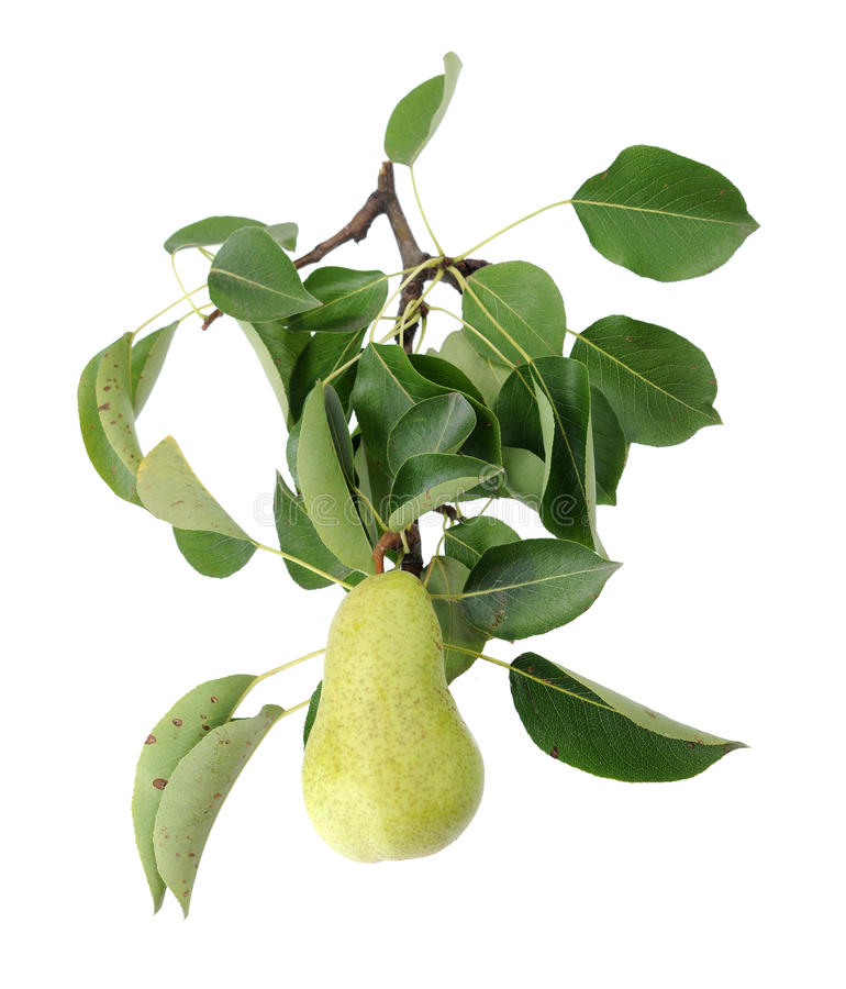 Download Pear stock image. Image of nutrition, ripe, christ, green - 33855155