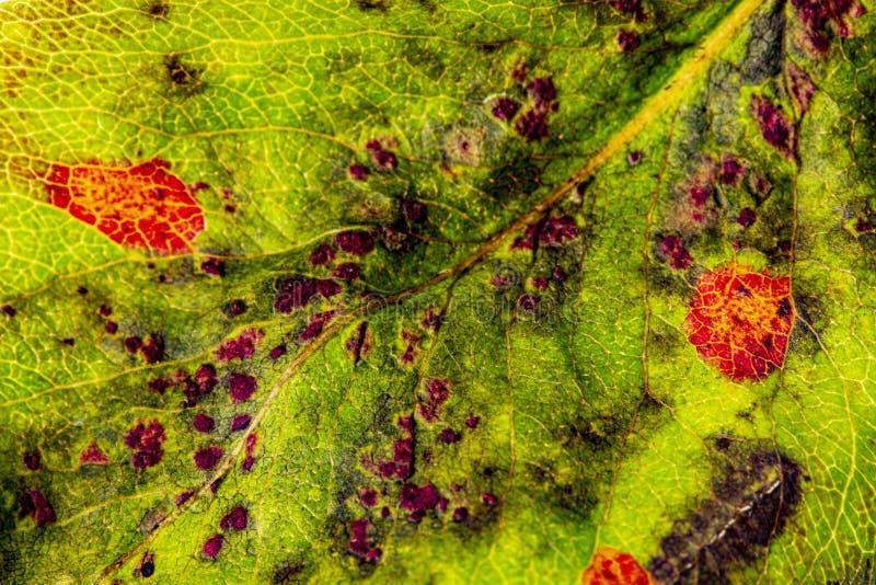 Pear rust disease Gymnosporangium sabinae royalty free stock images
