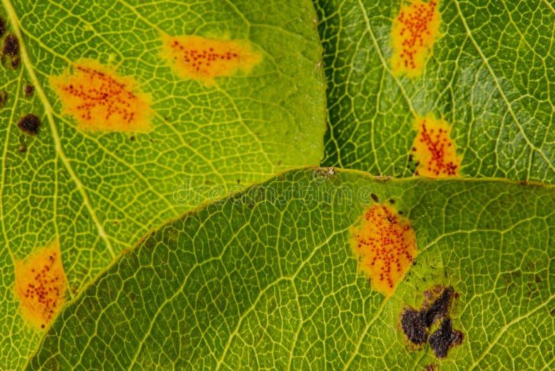 Pear rust disease Gymnosporangium sabinae royalty free stock photo