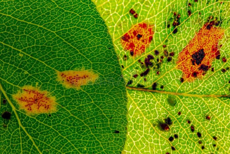 Pear rust disease Gymnosporangium sabinae stock images