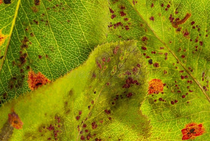 Pear rust disease Gymnosporangium sabinae royalty free stock photos