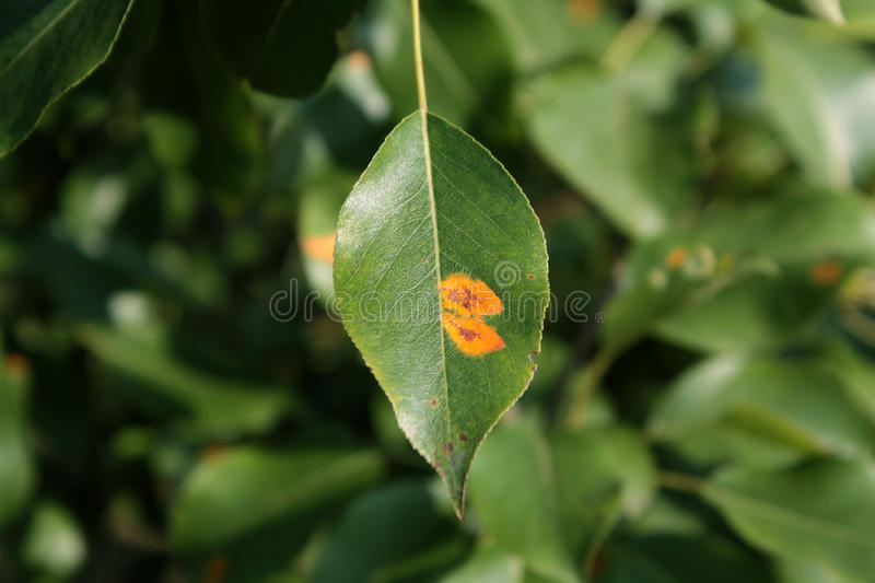 Pear rust on leaf royalty free stock photo