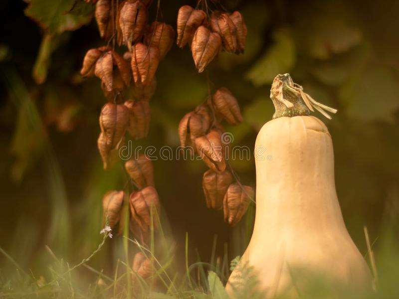 Pear shaped pumpkin on a grass royalty free stock images