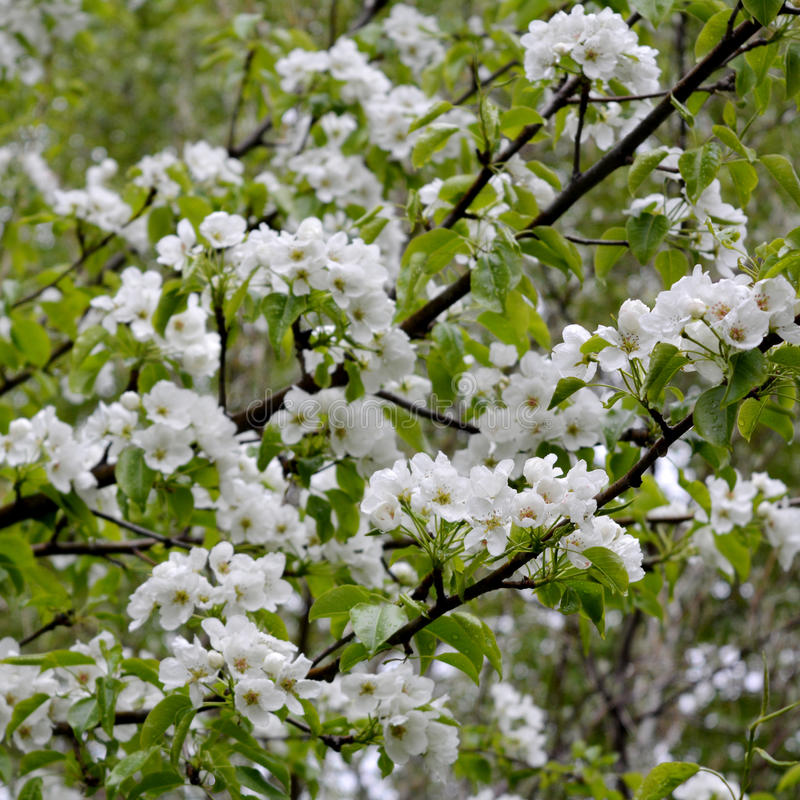 Pear tree blossom. Branches with white flowers royalty free stock photo
