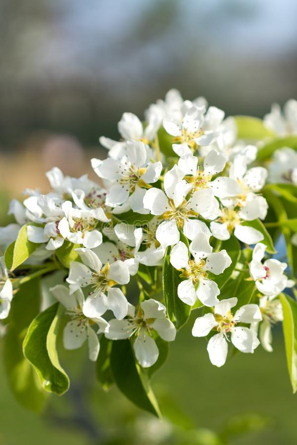 Pear tree blossom close-up. White pear flower on naturl background. Fruit tree blossom close-up. Shallow depth of field. vertical stock image