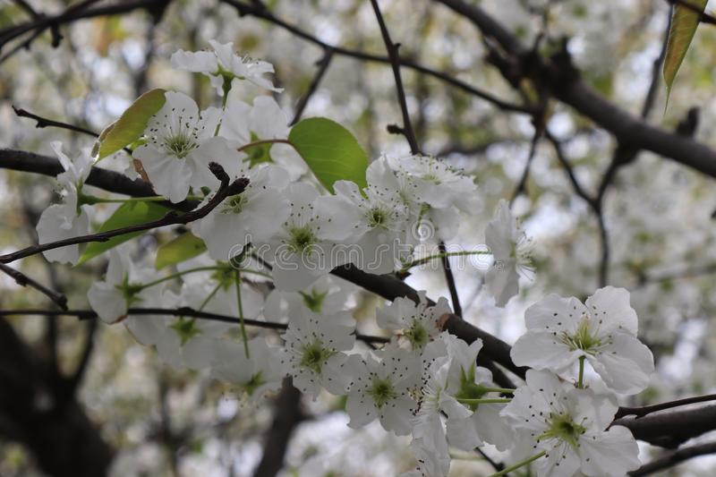 Pear tree blossoms, bees to collect honey. Background beautiful blossom flower nature stock photography