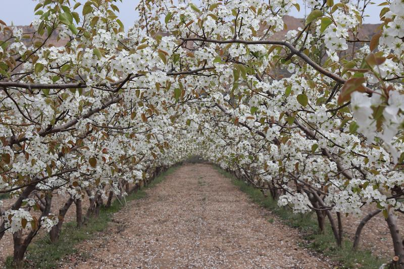 Pear tree blossoms, bees to collect honey. Background beautiful blossom flower nature royalty free stock photo