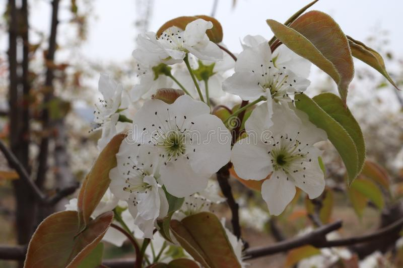 Pear tree blossoms, bees to collect honey. Background beautiful blossom flower nature royalty free stock photography