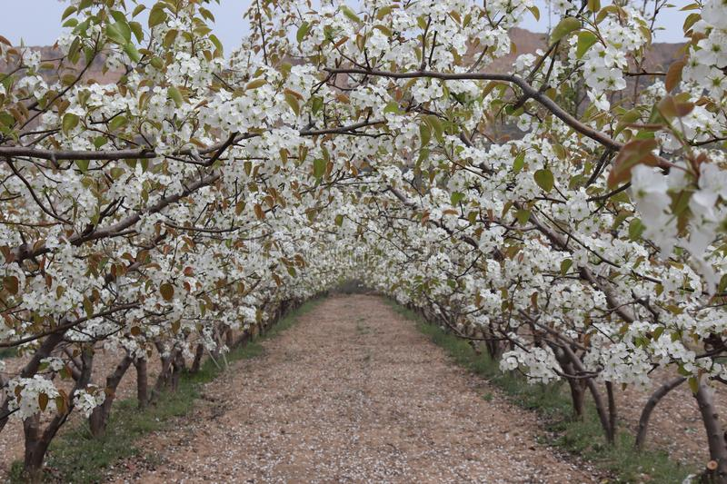Pear tree blossoms, bees to collect honey. Background beautiful blossom flower nature royalty free stock images