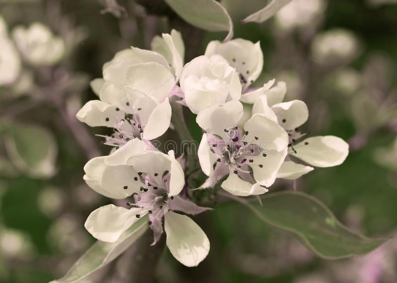 Pear Tree Blossoms in Springtime. A close up photograph of pear tree blossoms / flowers in an english pear orchard in April royalty free stock images