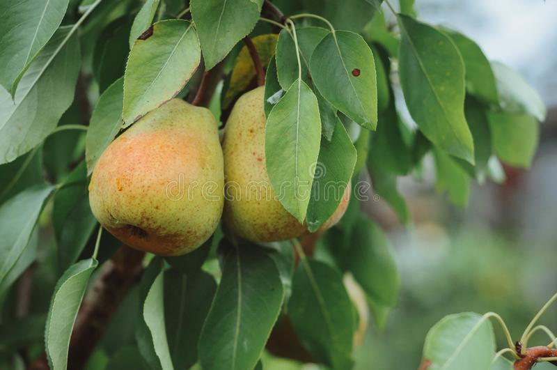 Pear on a tree, royalty free stock photos
