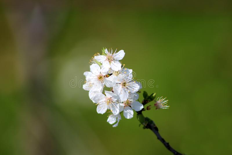 Pear tree branch with small bunch of fully open blooming white flowers planted in local garden with green leaves in background stock photos