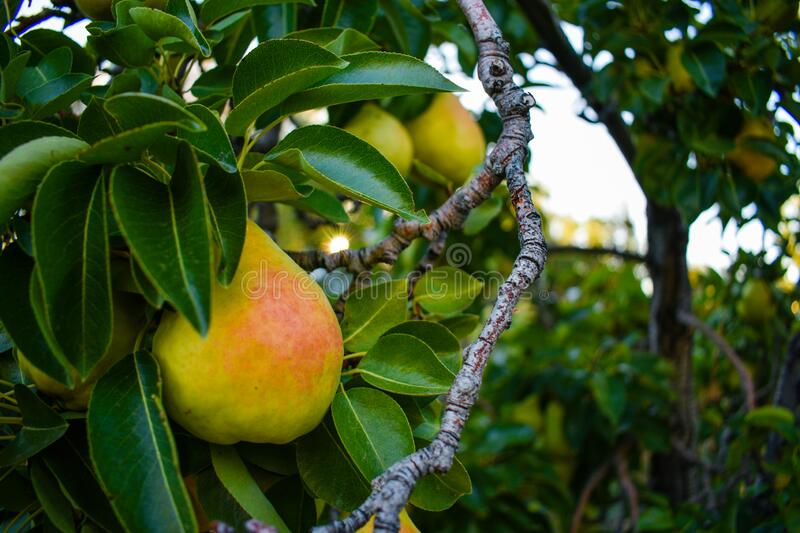 Pear Tree In Early Summer stock photo