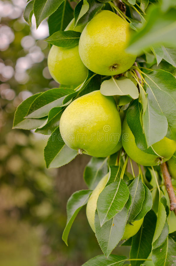 Download Pear Tree stock image. Image of orchard, plant, tree - 33851805