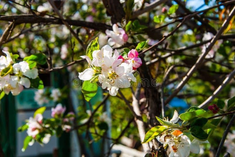 Pear tree royalty free stock photos