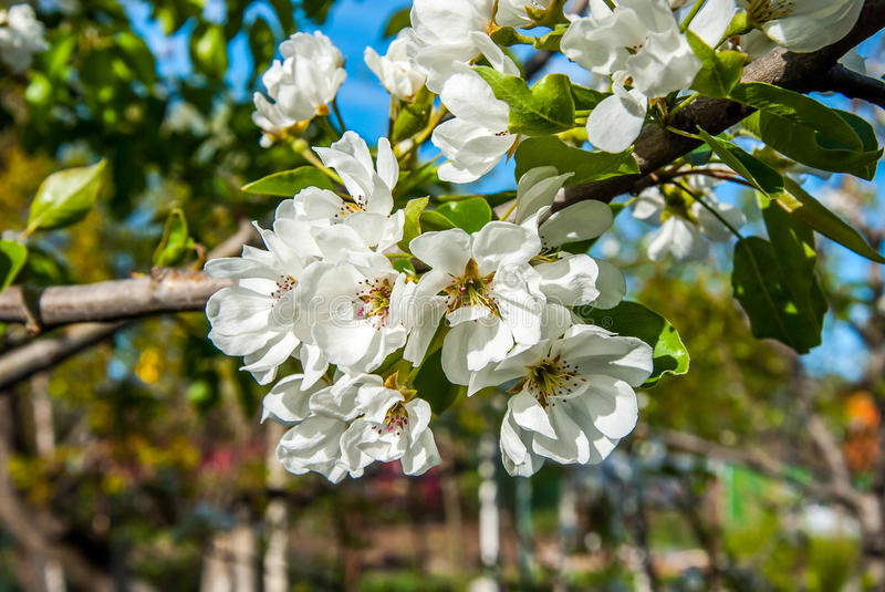 Pear tree. A full-blown pear tree in April royalty free stock photos