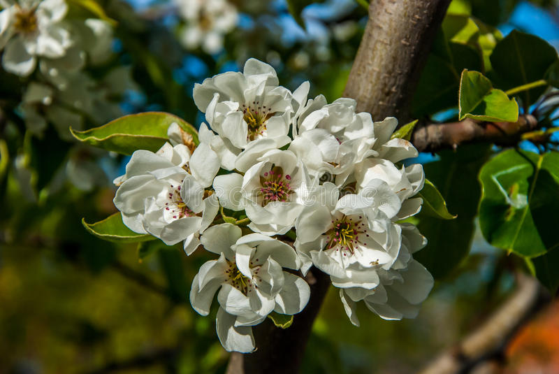 Pear tree. A full-blown pear tree in April royalty free stock photo