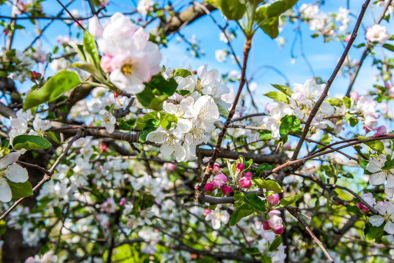 Pear tree. A full-blown pear tree in April royalty free stock image