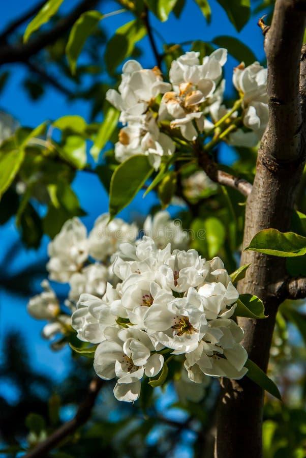 Pear tree. A full-blown pear tree in April stock photo