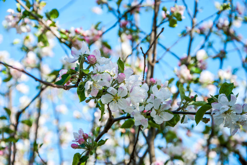 Pear tree. A full-blown pear tree in April stock images