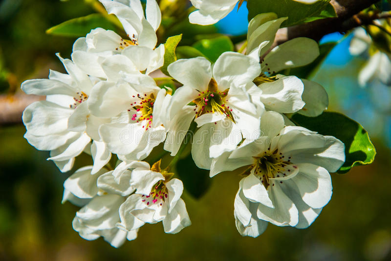 Pear tree. A full-blown pear tree in April royalty free stock photography