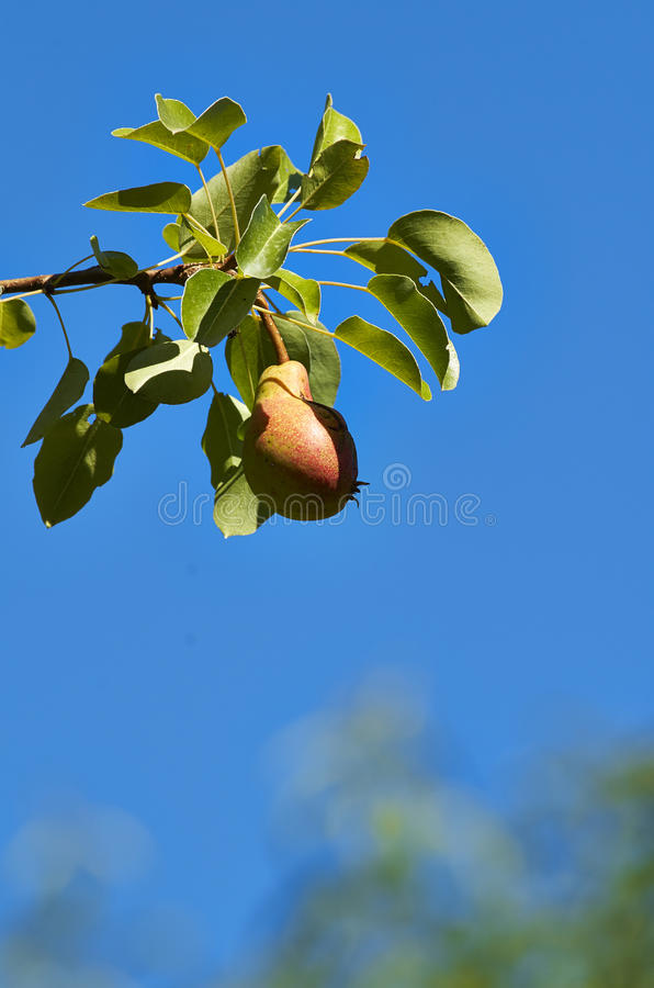 Download Pear stock image. Image of dessert, cutout, snack, nature - 32048965